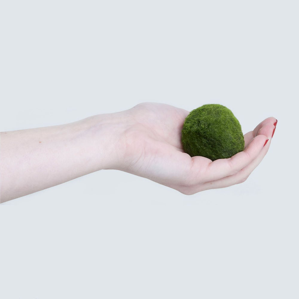 marimo plant in hand