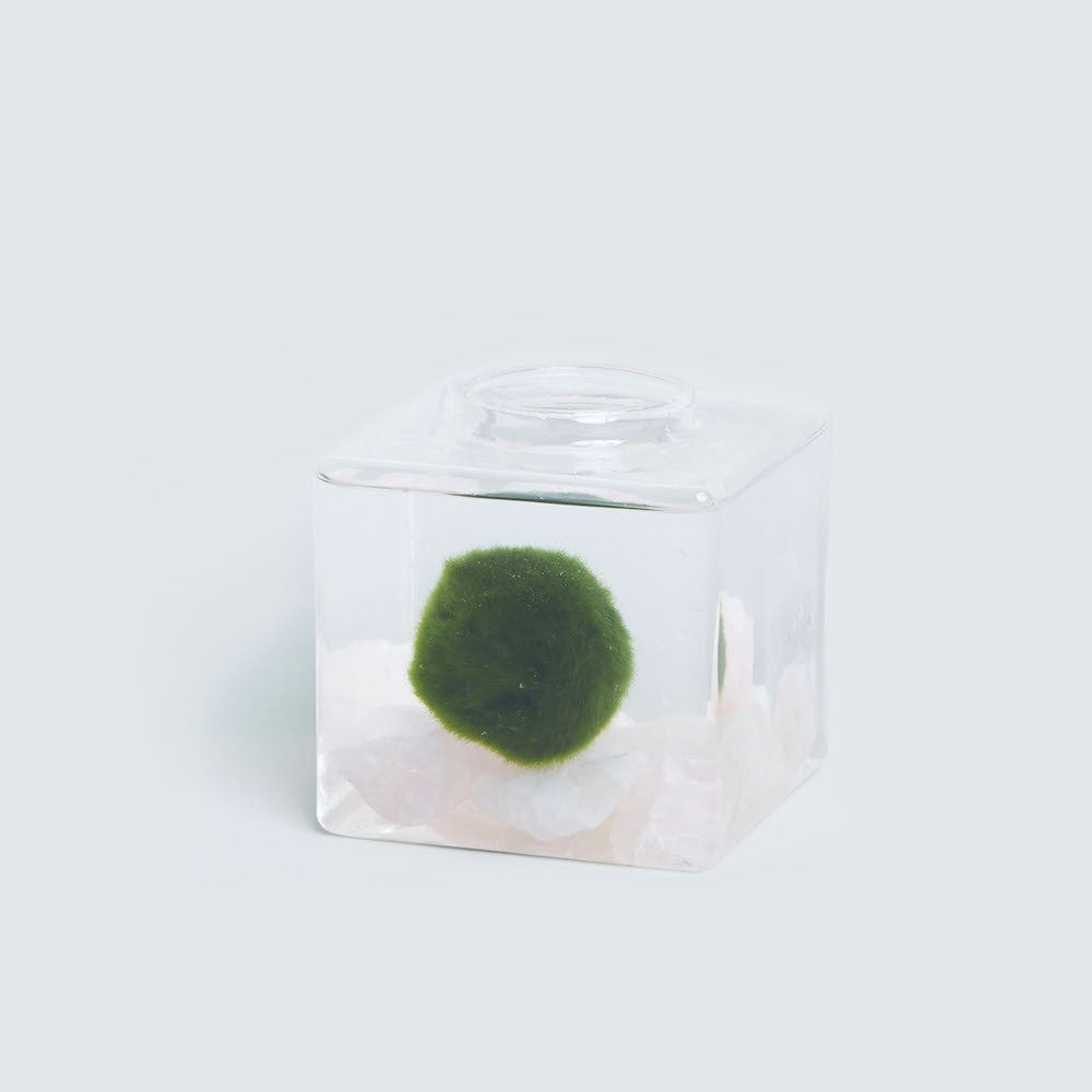marimo plant container