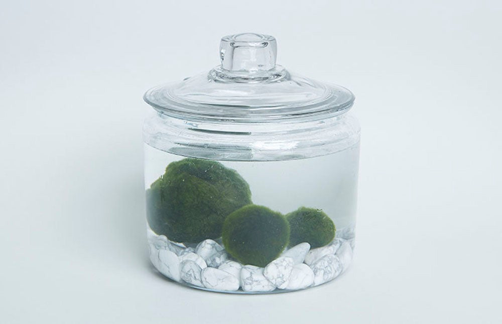marimo plant in container