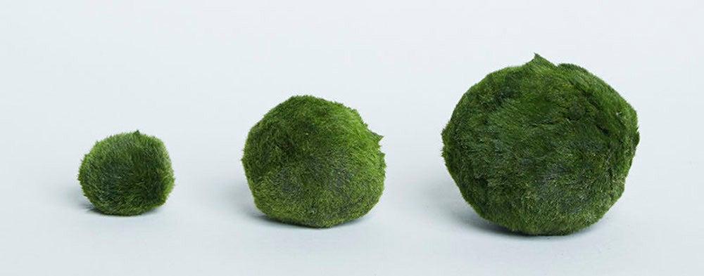 marimo plant moss balls