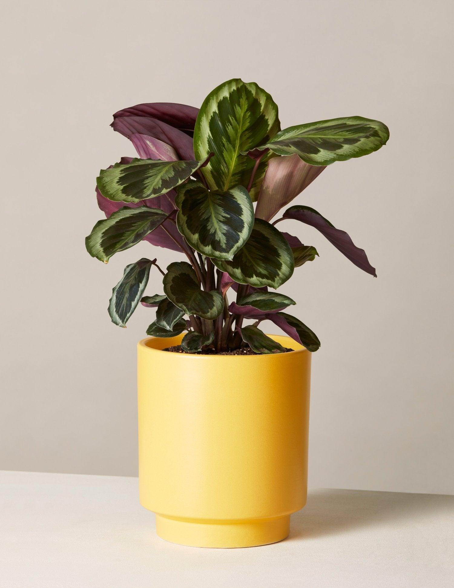 the-sill_potted-plant_calathea-medallion_high-line_mustard-7_1500x.progressive