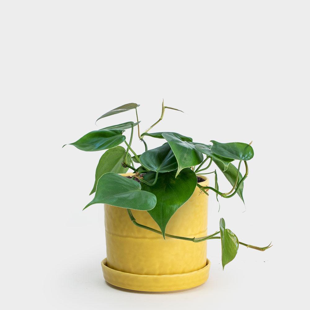 Benotti-Cup-Yellow-4_Philodendron-Cordatum-4