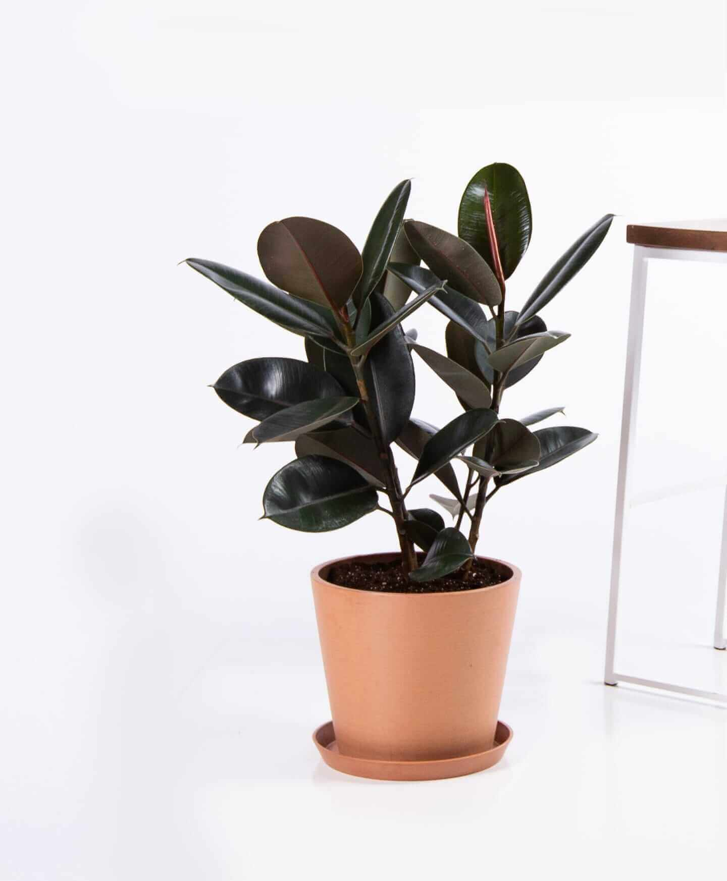 bloomscape_product-burgundy-rubber-tree-clay