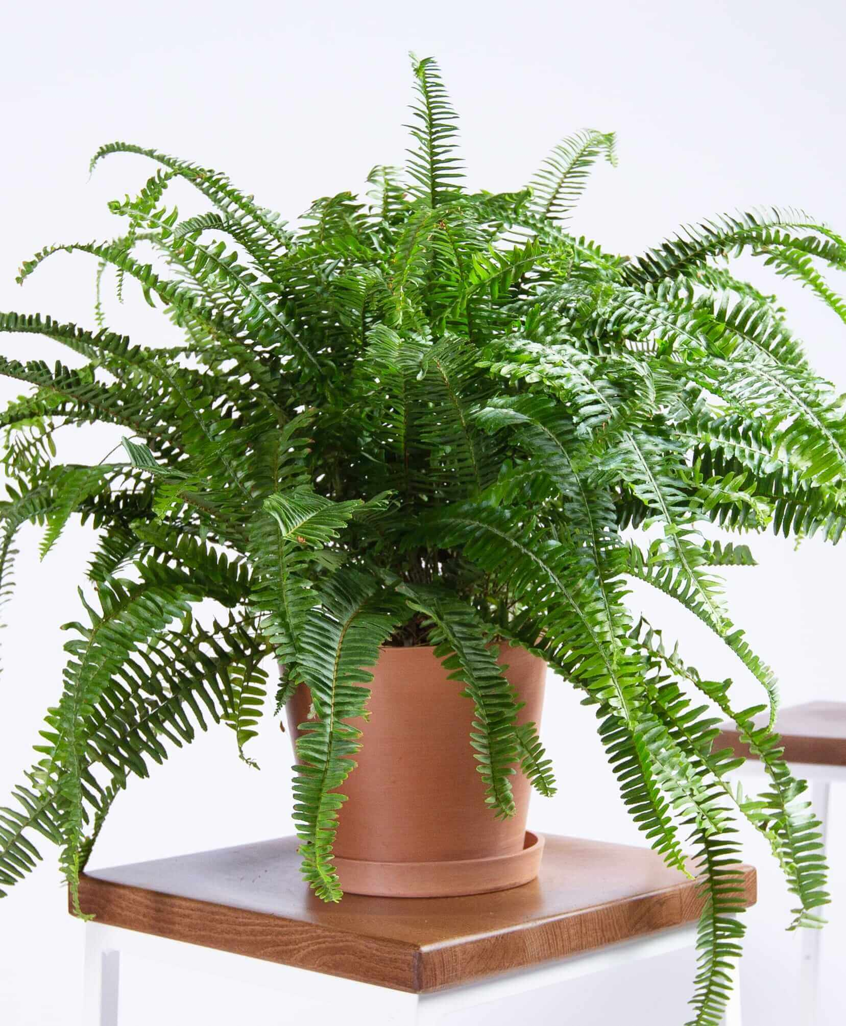 bloomscape_product-kimberly-queen-fern-clay-1