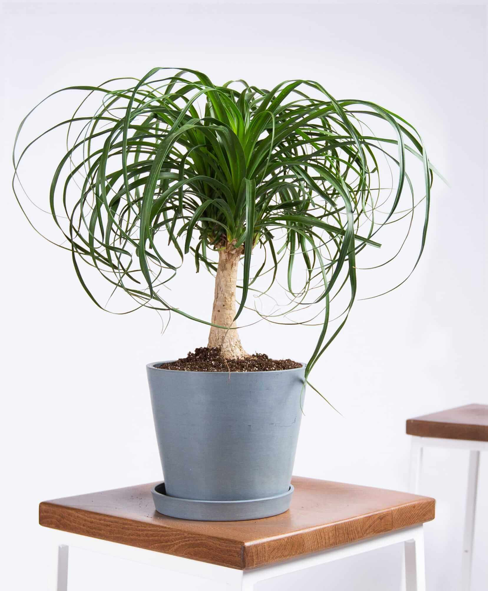 bloomscape_product-ponytail-palm-slate