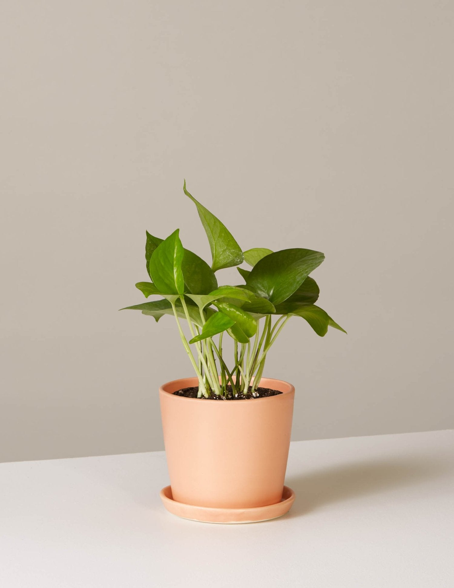 the-sill_pothos-plant-jade_august_blush_4_1500x.progressive
