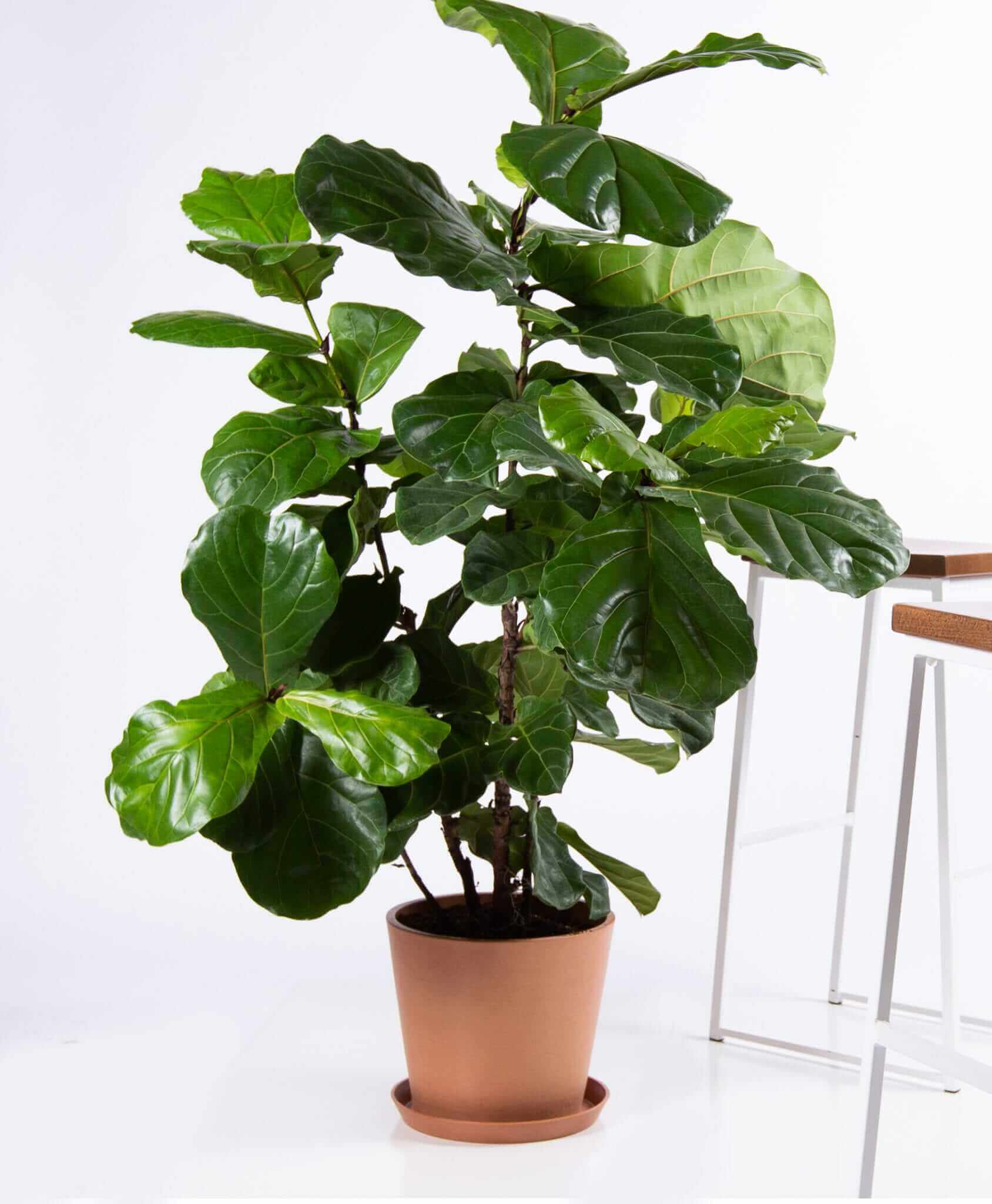 bloomscape_product-fiddle-leaf-fig-clay