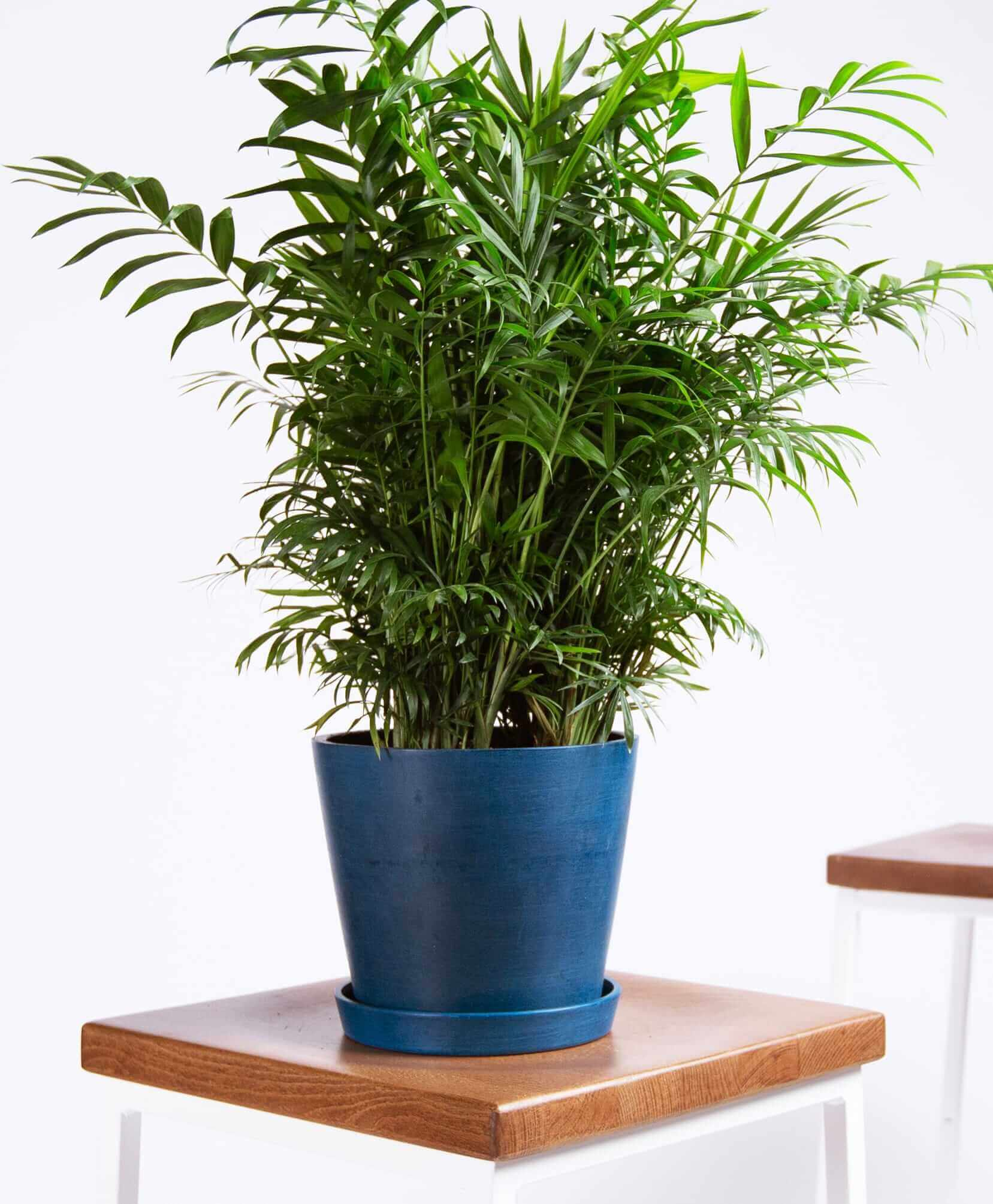 bloomscape_product-parlor-palm-indigo