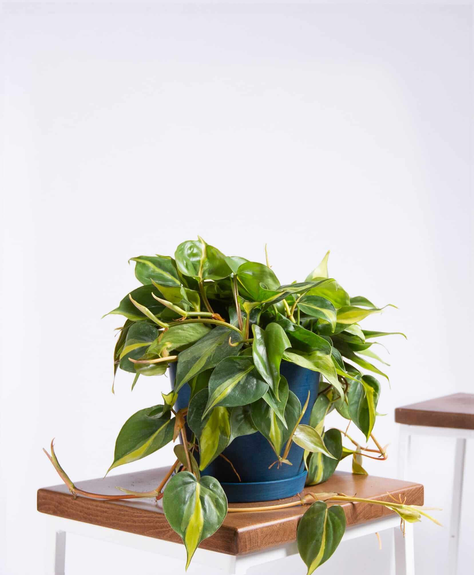 bloomscape_product-philodendron-brasil-indigo