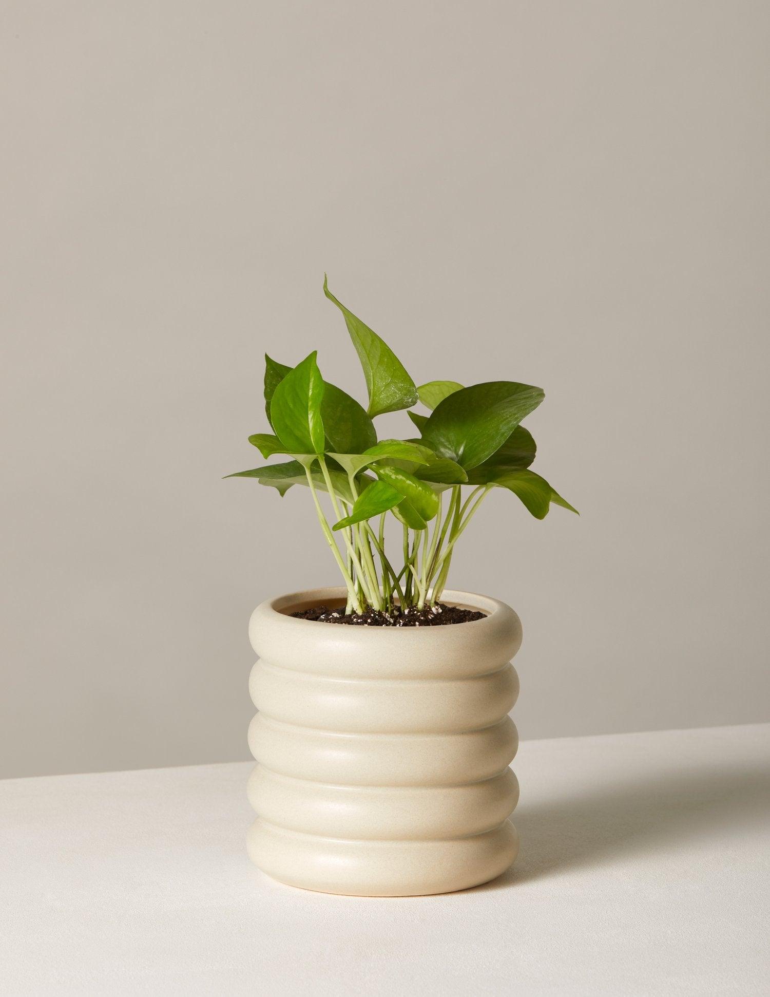 the-sill_pothos-plant-jade_dolores_pale-grey_5_1500x.progressive
