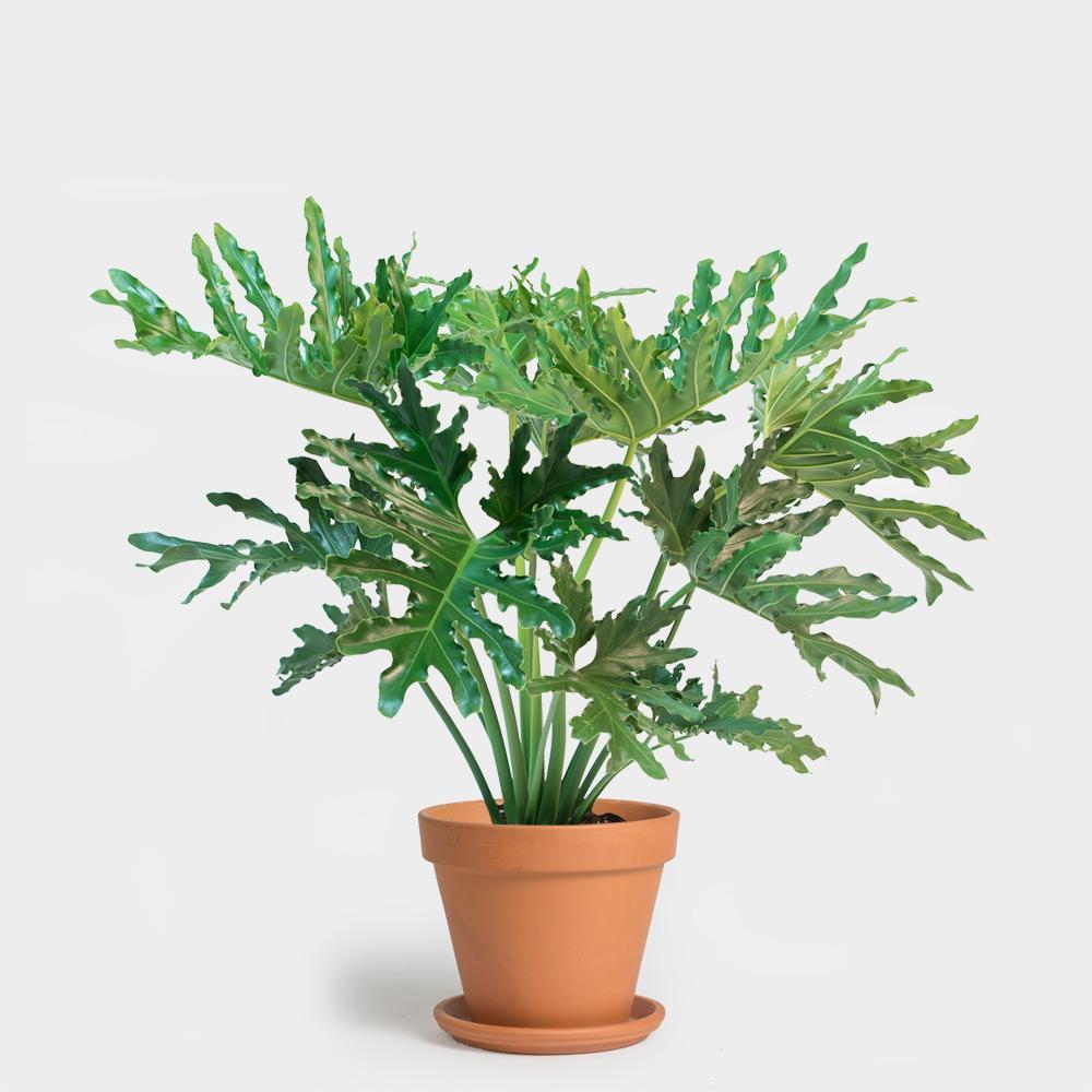 Terracotta-12_Philodendron-Hope-Selloum-10