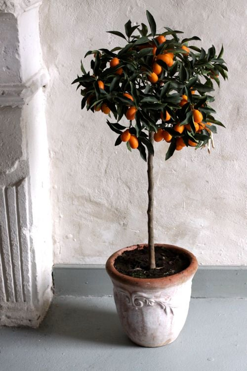 How to Care for a Lemon Tree in a Tiny Apartment