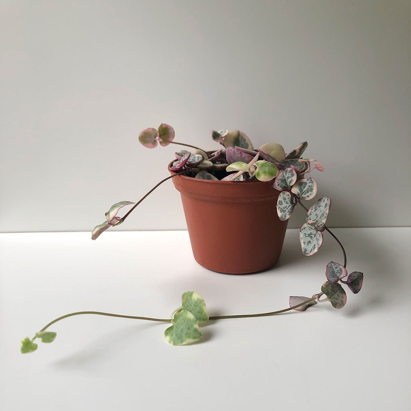 2.5 Variegated String of Hearts Plant