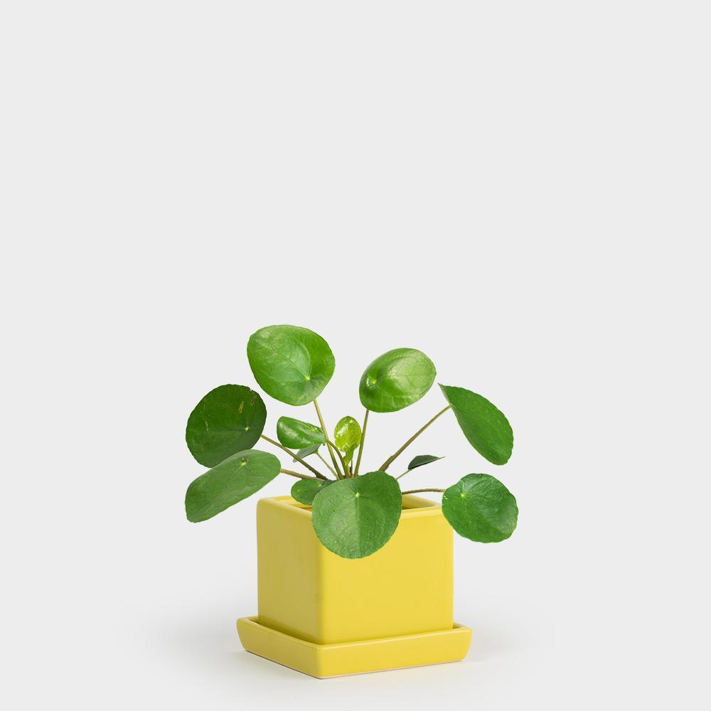 Chive-Cube-and-Saucer-Sunbeam_Pilea-peperomiodes-3