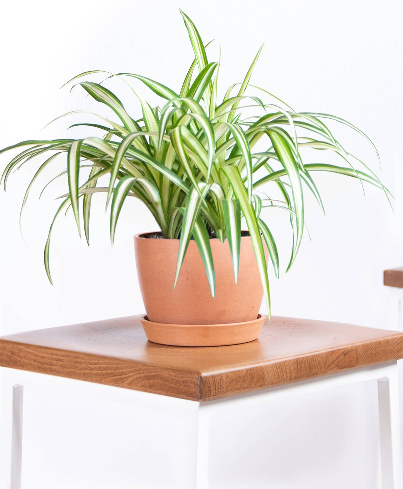 bloomscape-product-spider-plant-clay-2