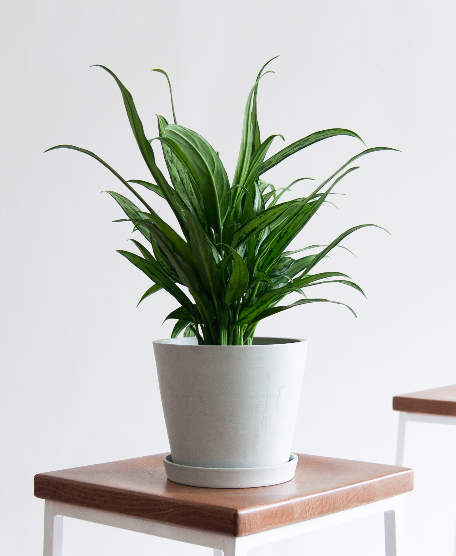 bloomscape_product-cutlass-aglaonema-stone-1-1500×1830