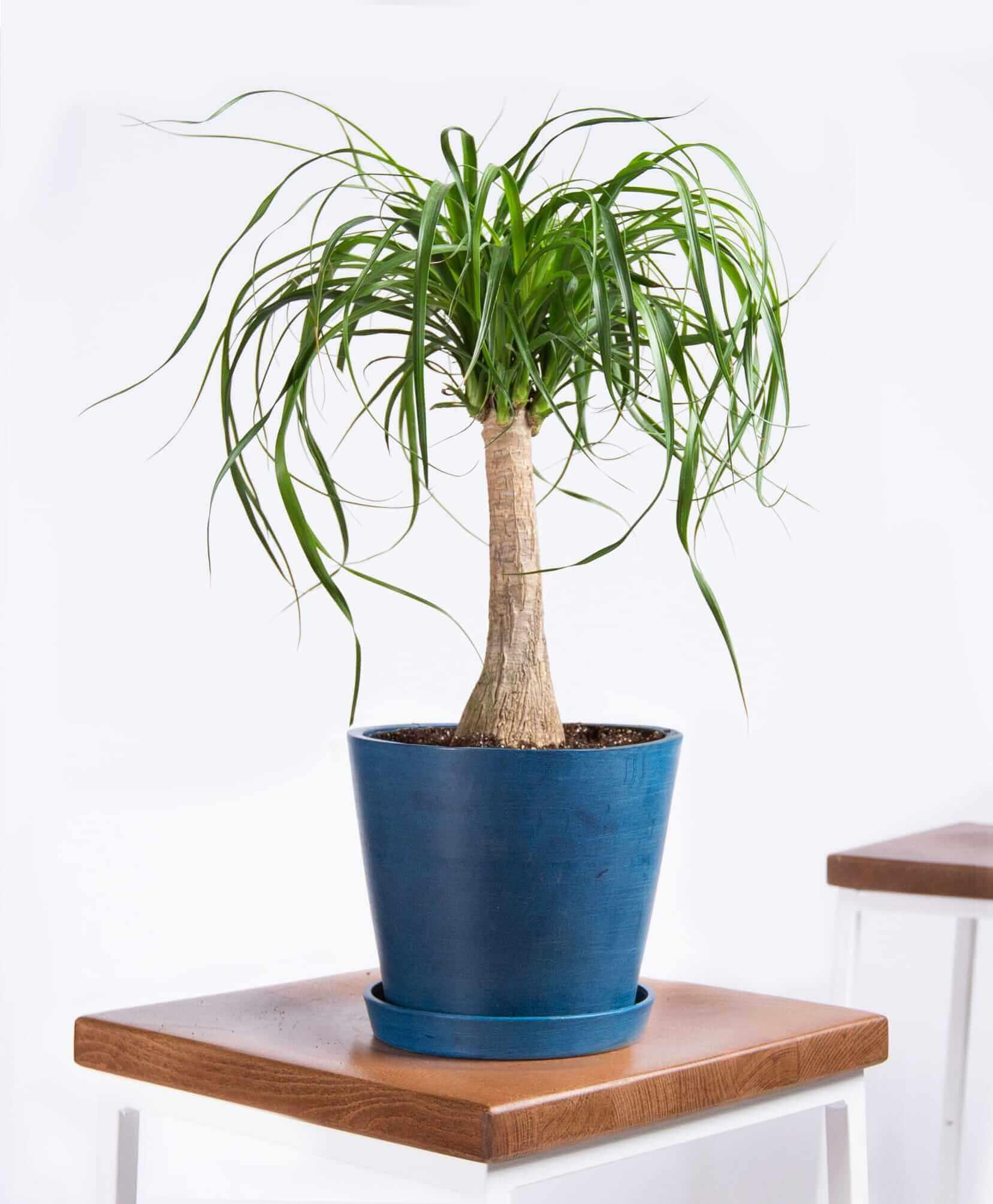bloomscape_product-ponytail-palm-indigo