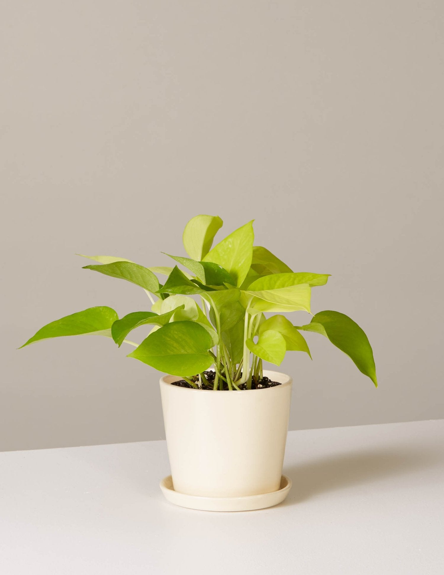 the-sill_pothos-plant-neon_august_cream_4_1500x.progressive