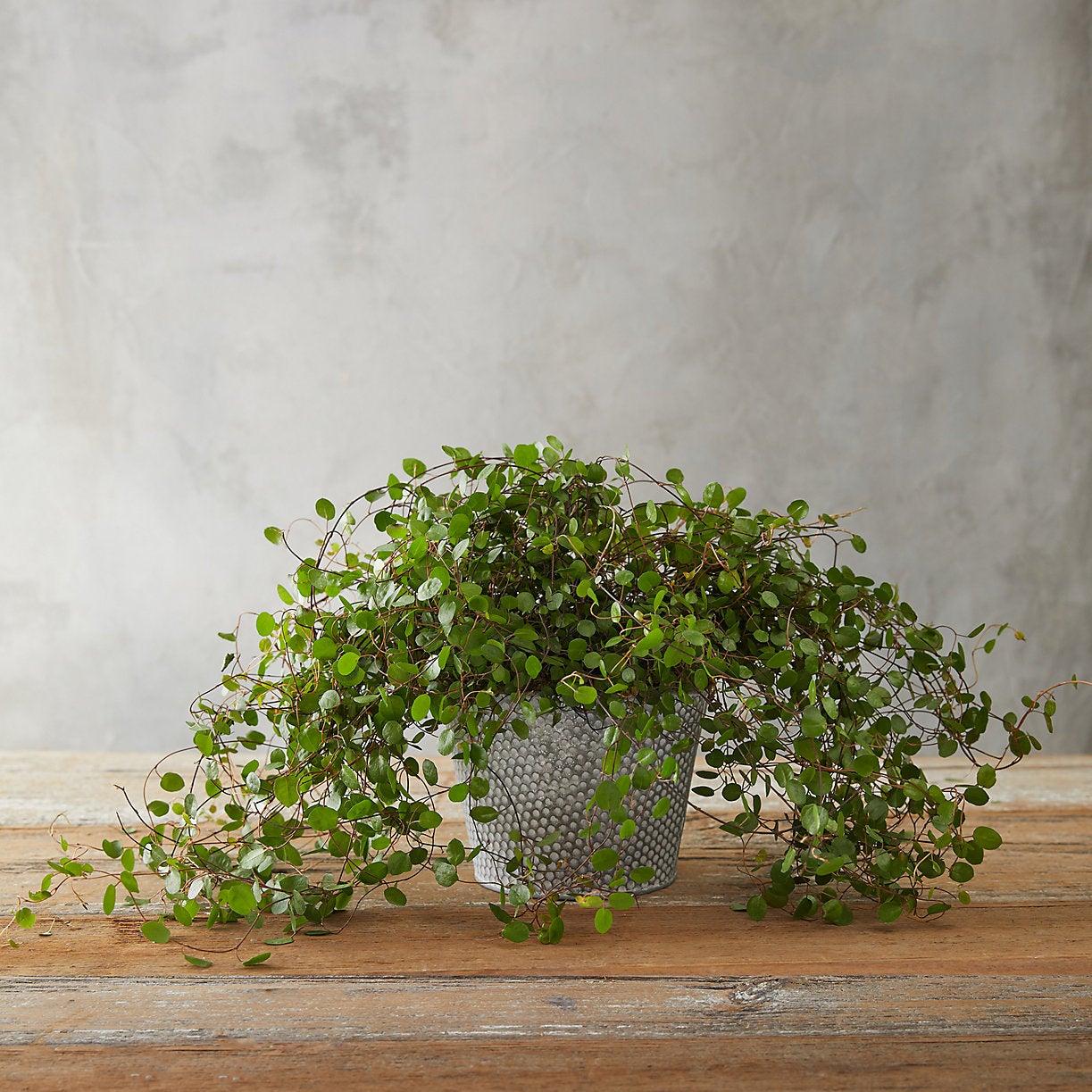 angel vine in a dot planter