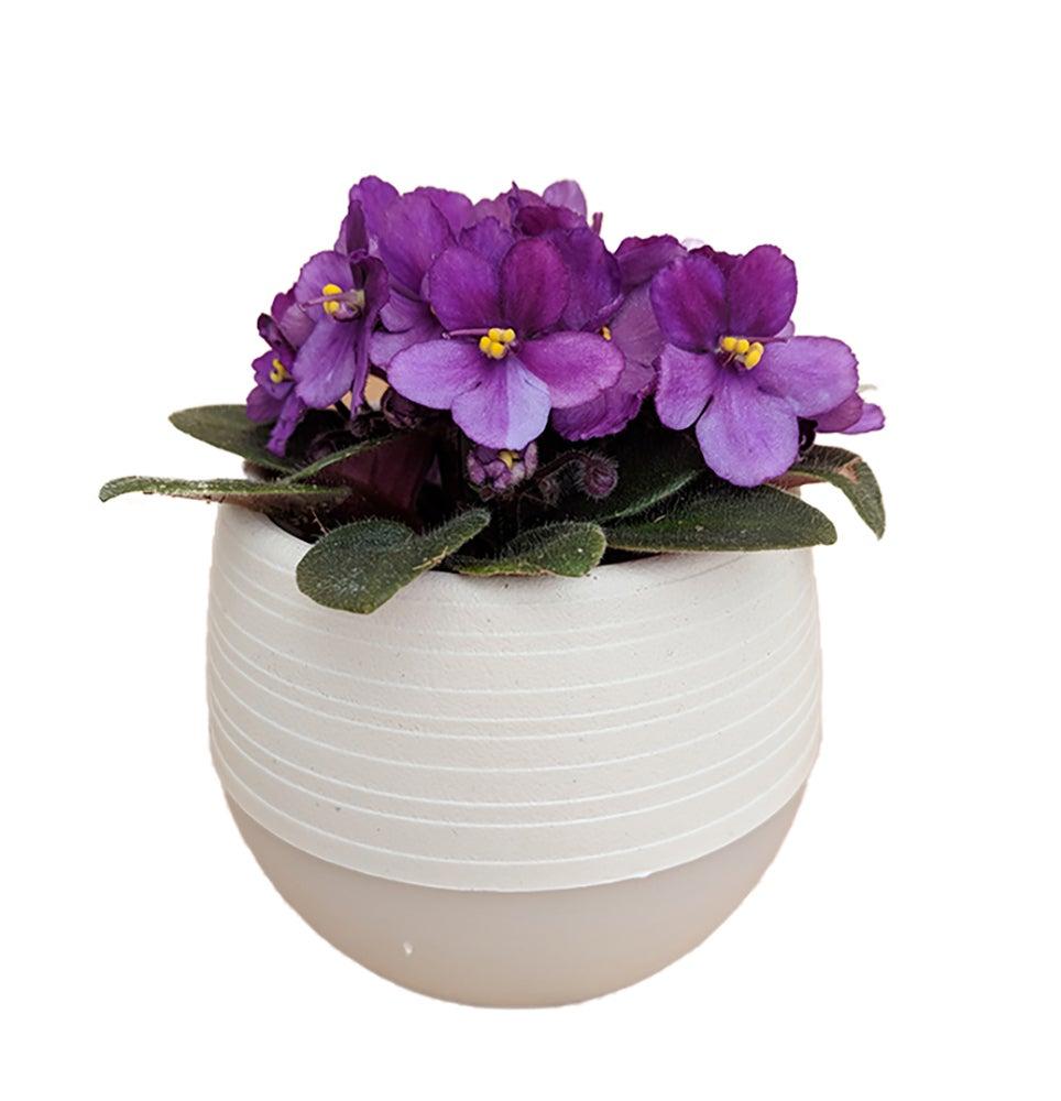 ESFJ – African violets _Saintpaulia_
