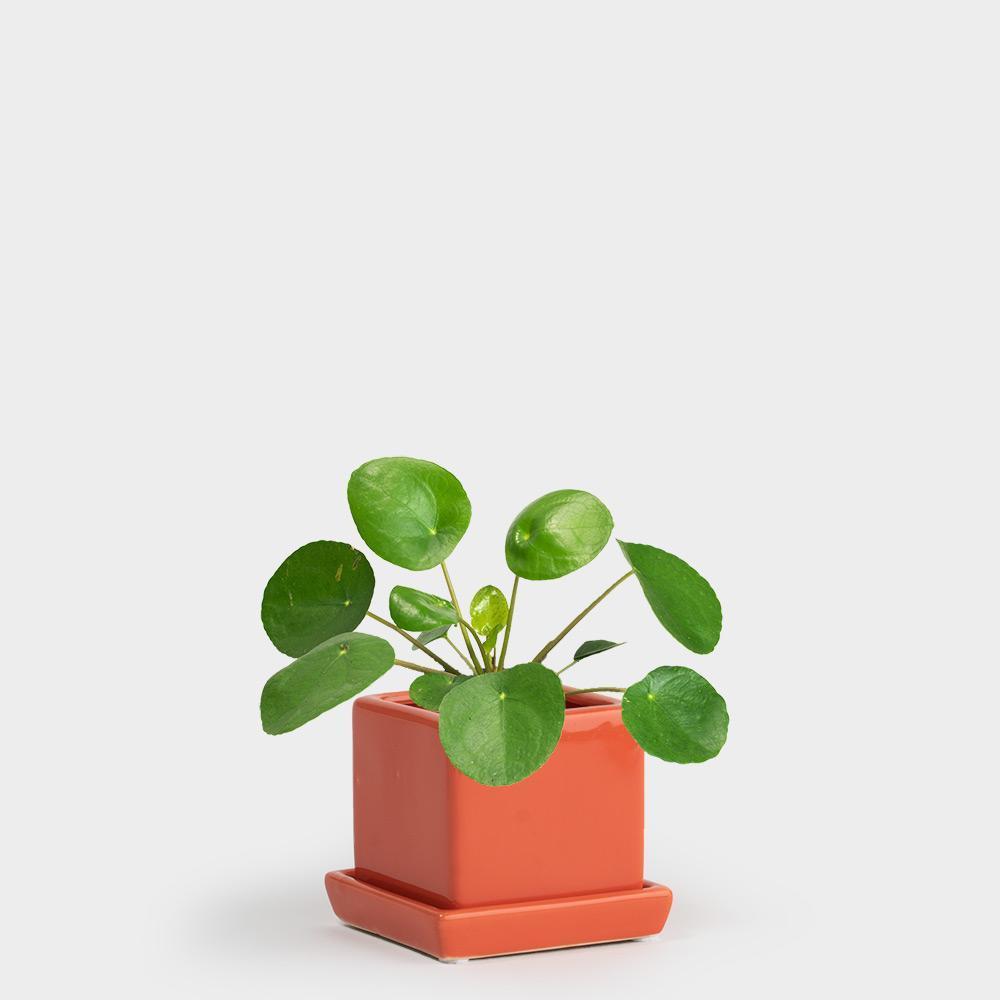 INFJ – Chinese money plant