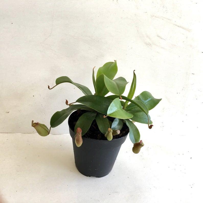 INTP – pitcher plant