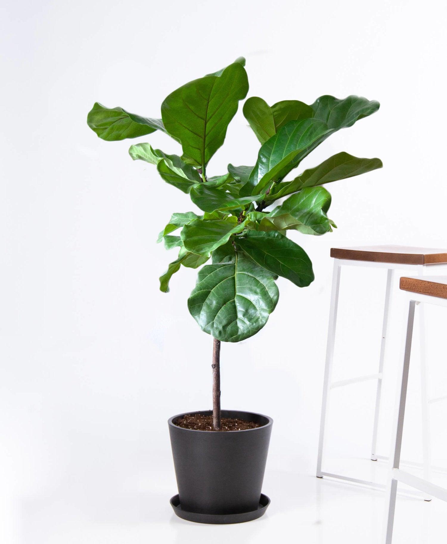 ISFJ – fiddle leaf fig