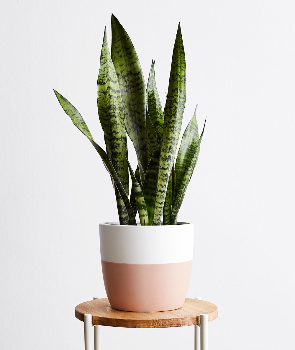 ISTJ – snake plant