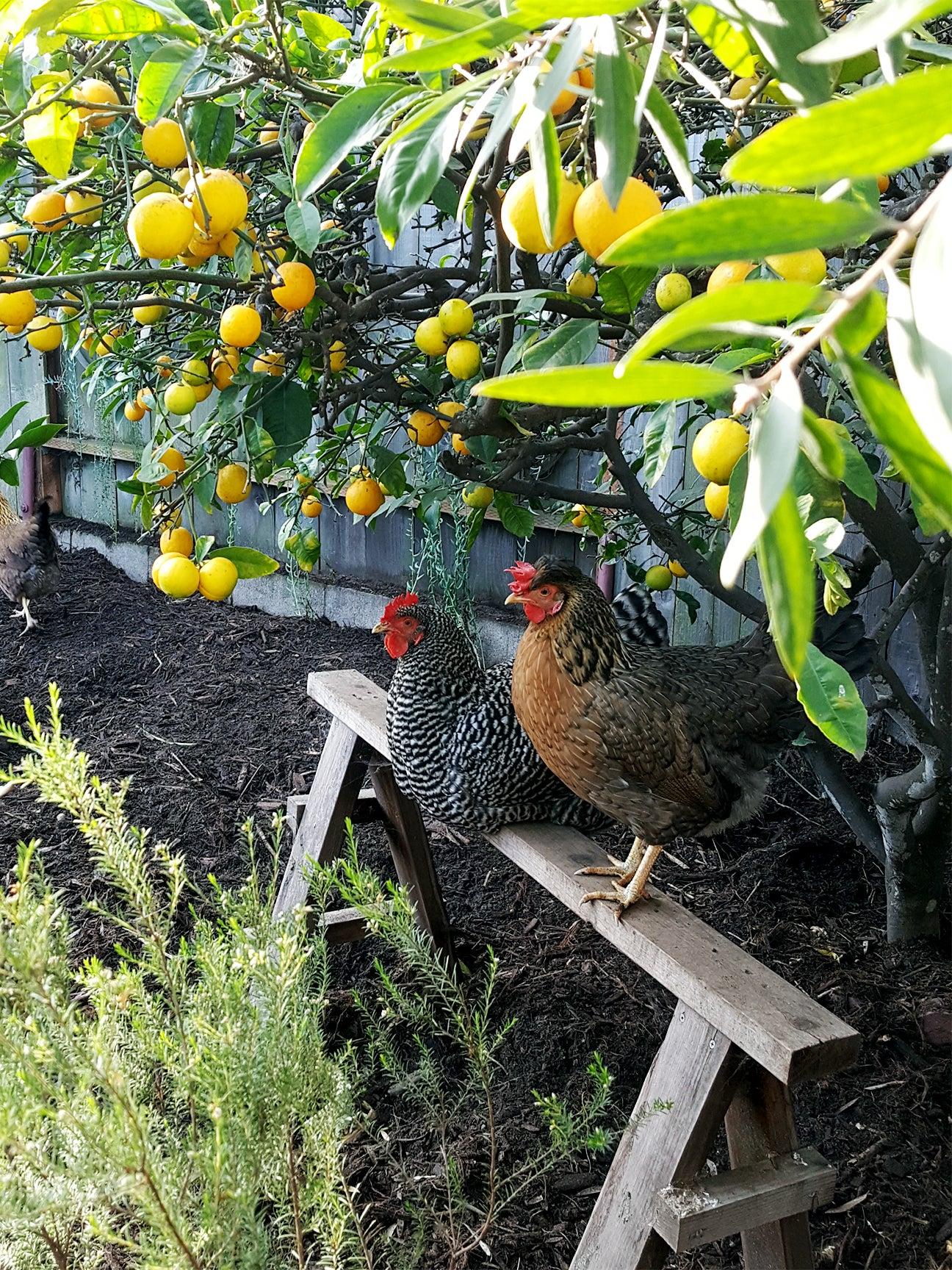 Chickens under a lemon tree