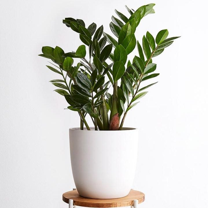 ZZ Plant on stool