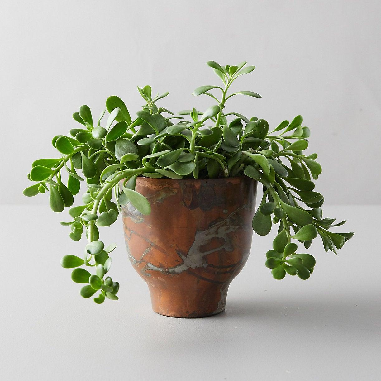 Trailing Jade in Copper Pot