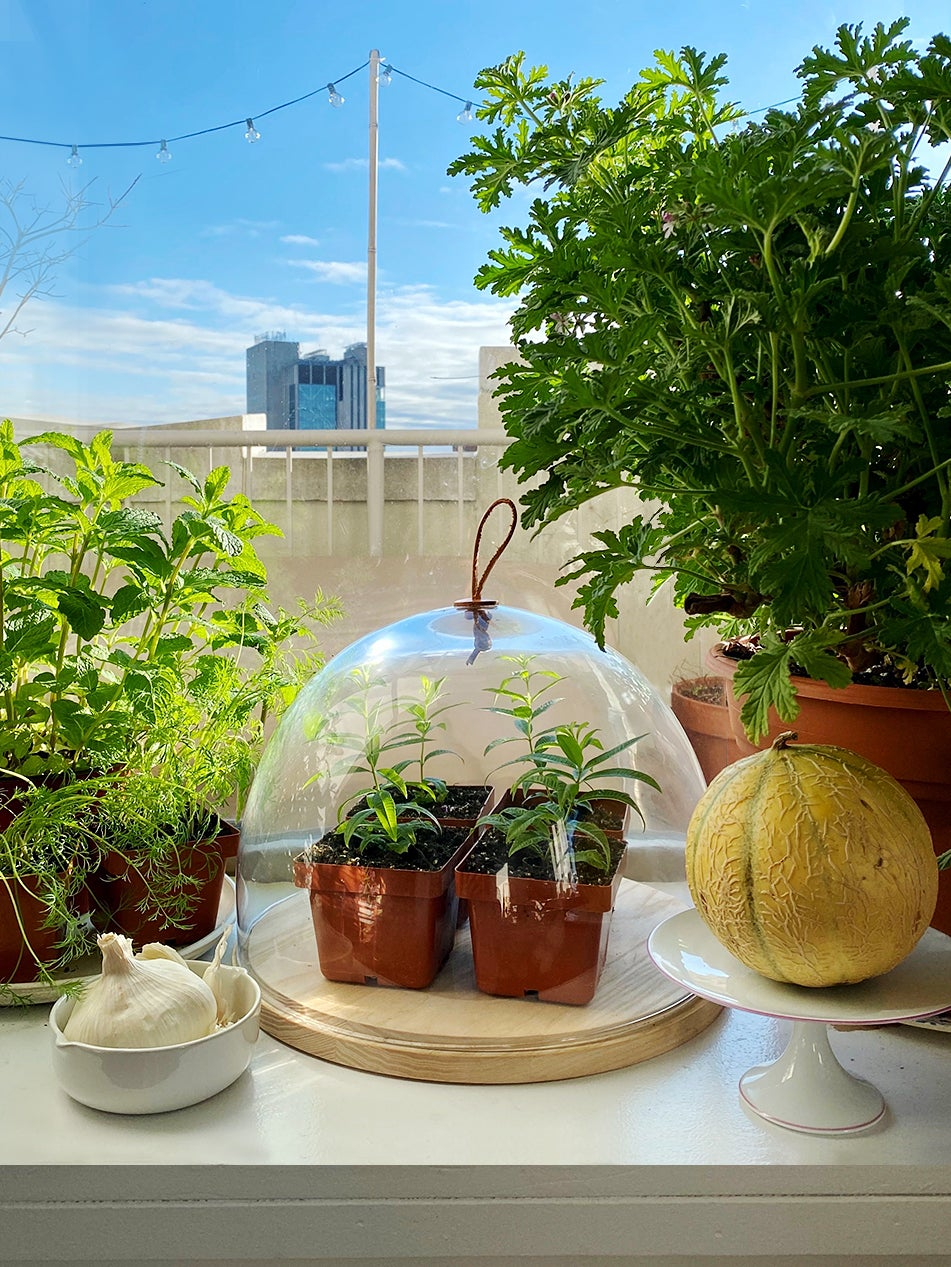 Seedlings under a glass dome