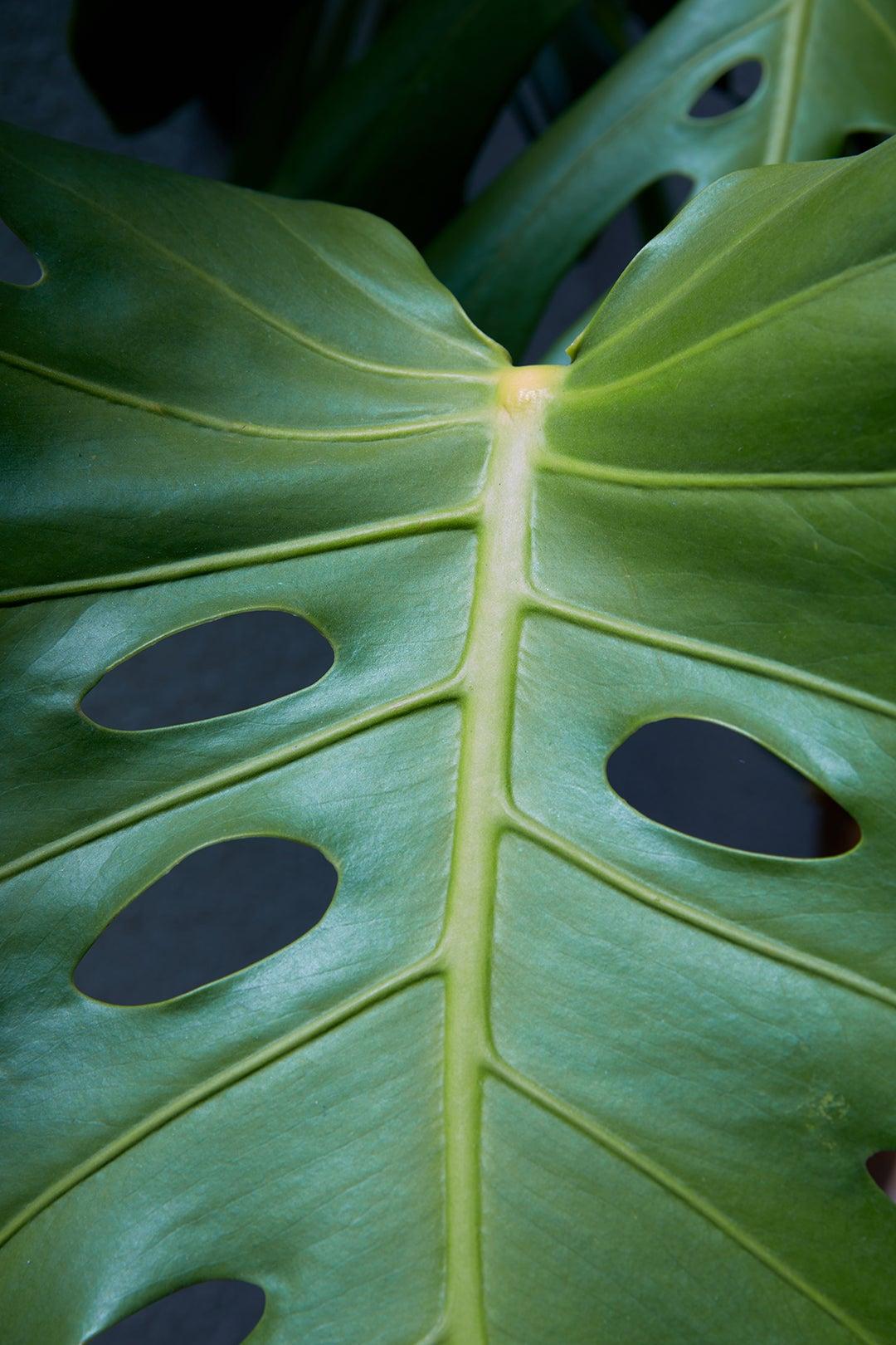 close up of monster leaf