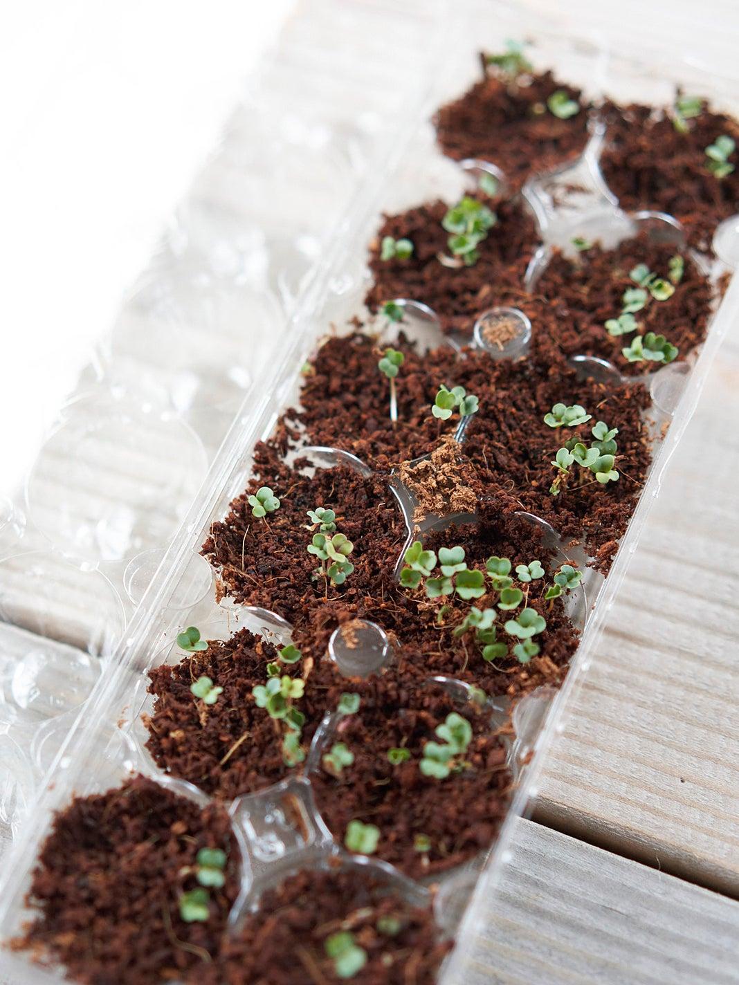 Seedlings in egg carton