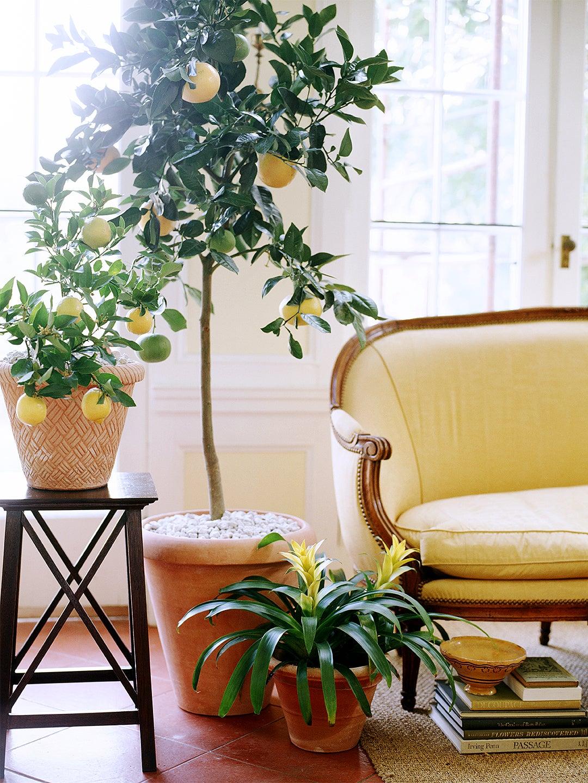 00-FEATURE-lemon-tree-care-guide-domino