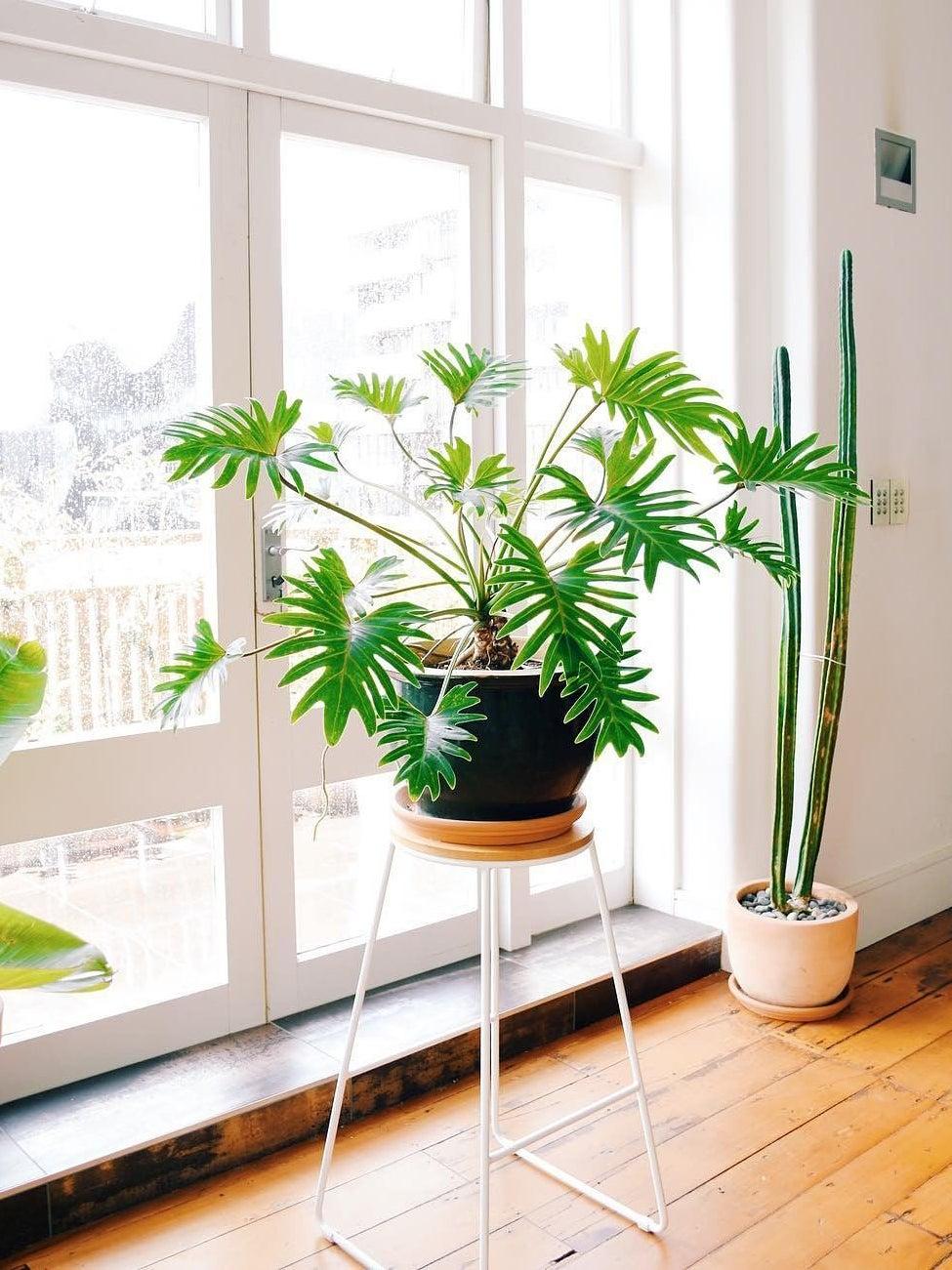 Philodendron Xanadu inside