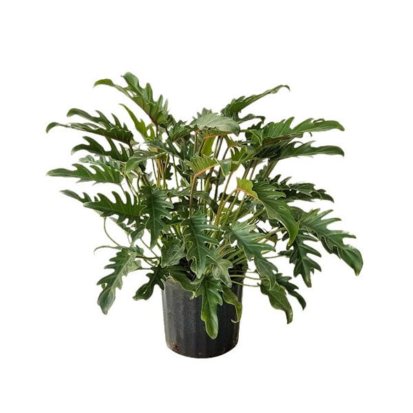 Philodendron 'Xanadu' - Large