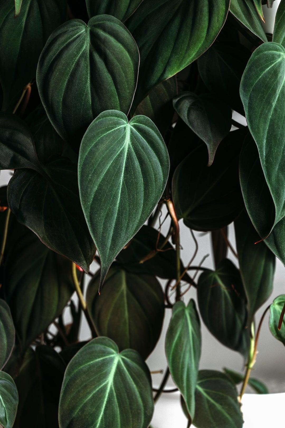 heart shaped plant leaves