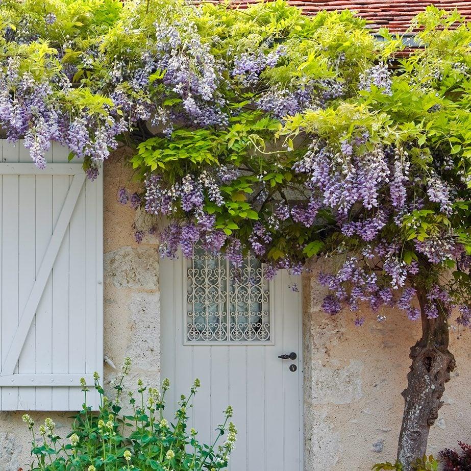 wisteria over doorway