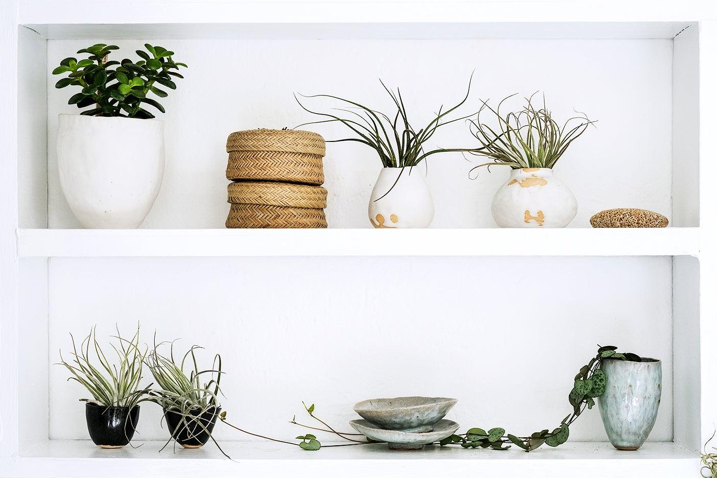 Air plants on shelf
