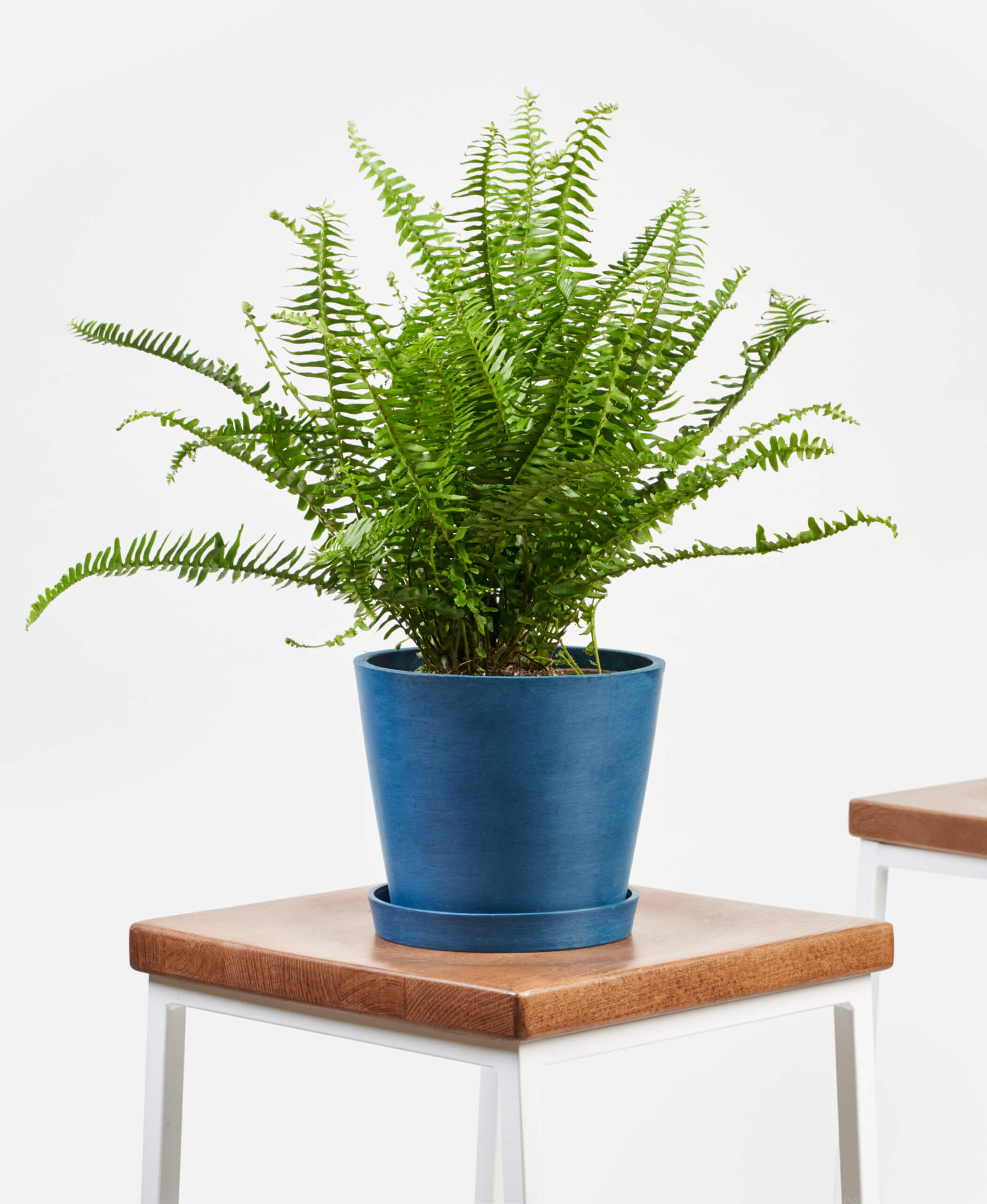 bloomscape_product_kimberly-queen-fern_indigo-1-scaled