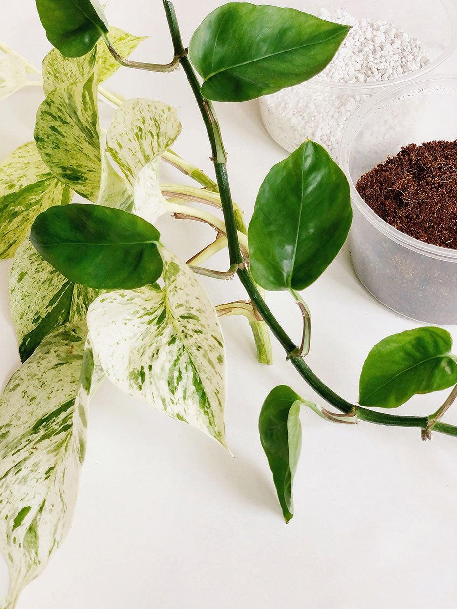 vine of a photos plant