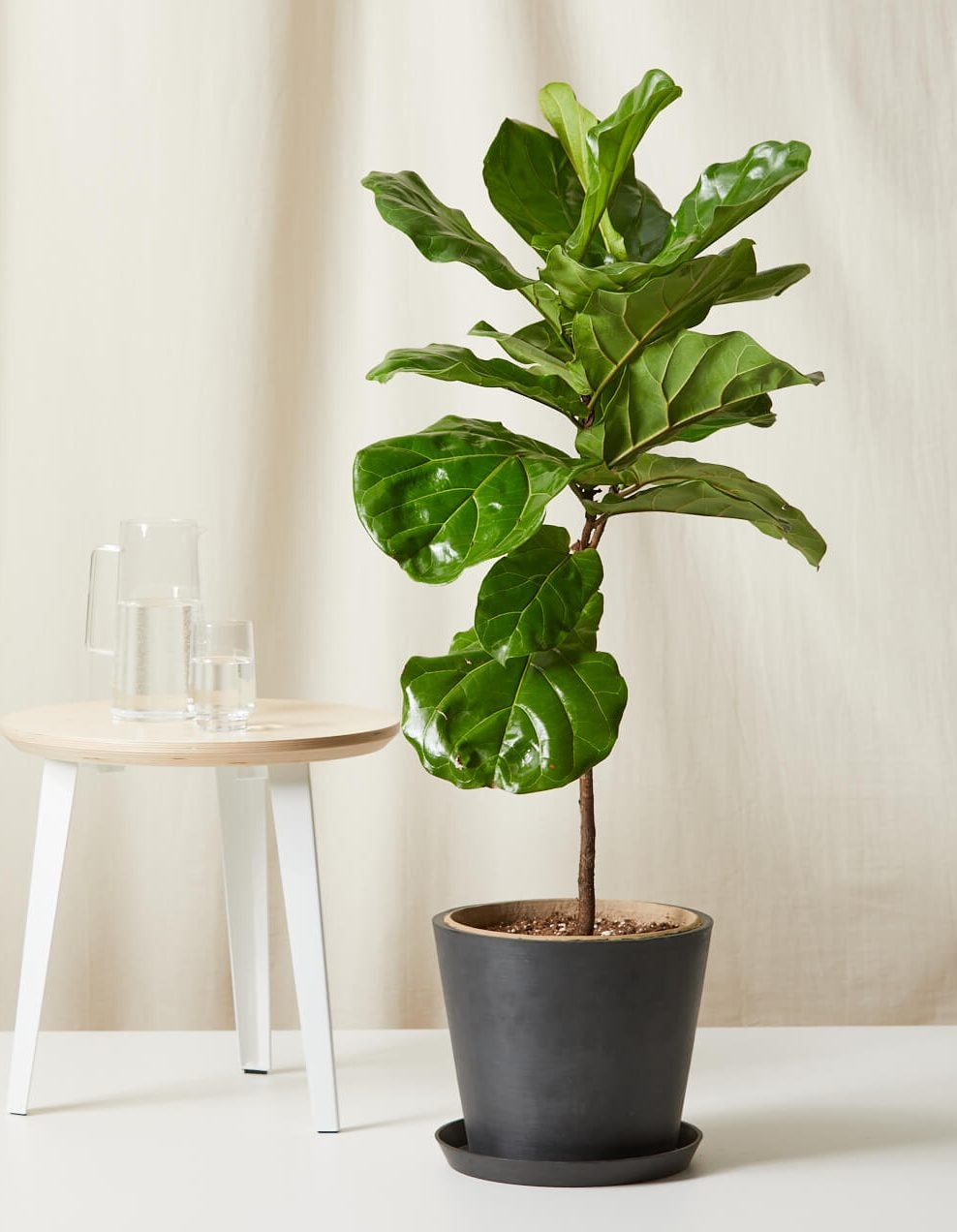 bloomscape_fiddle-leaf-fig_charcoal