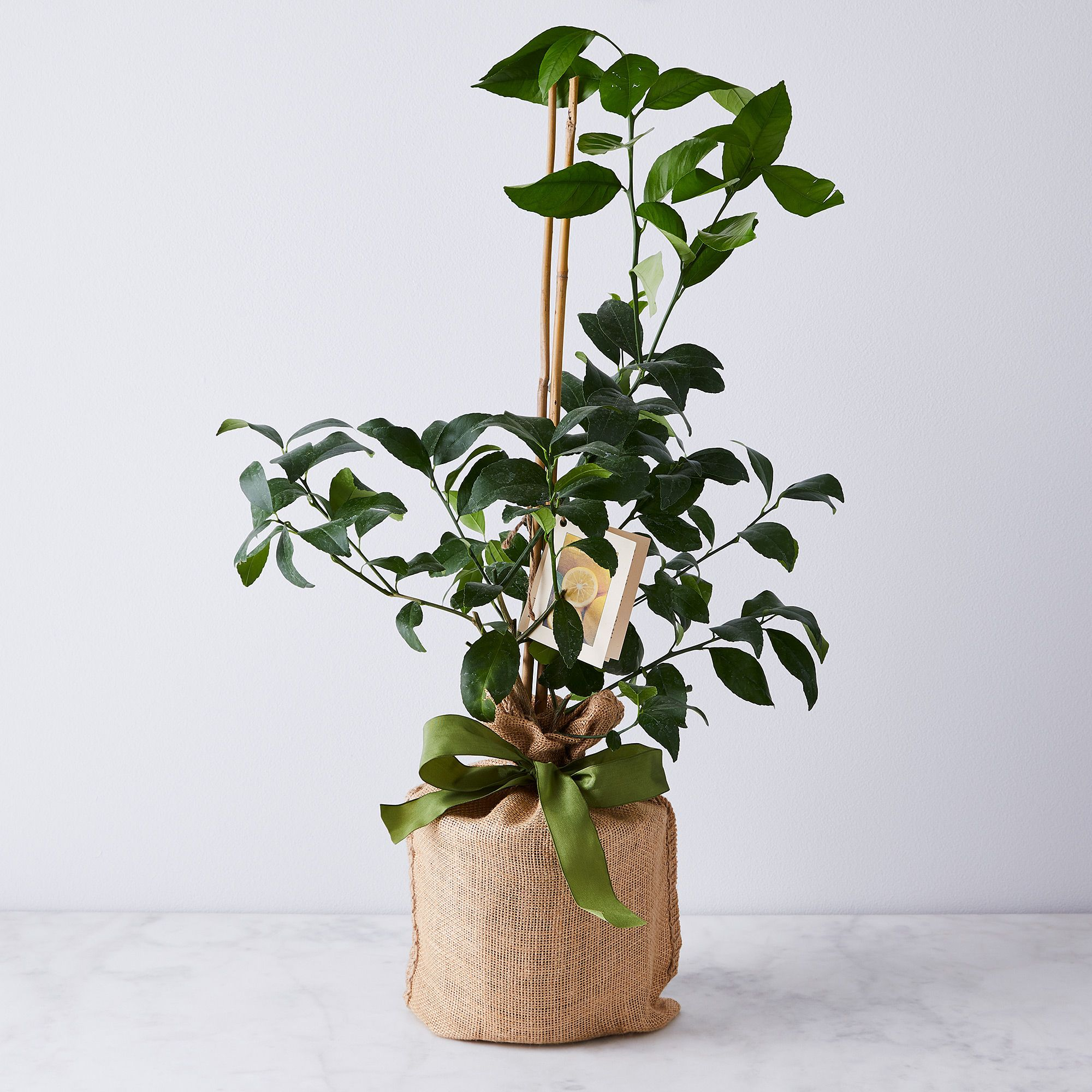 0f358cd7-fc2c-46d8-9b7c-7af977890c4e–2020-0129_magnolia-company_citrus-trees_meyer-lemon-tree_silo_ty-mecham