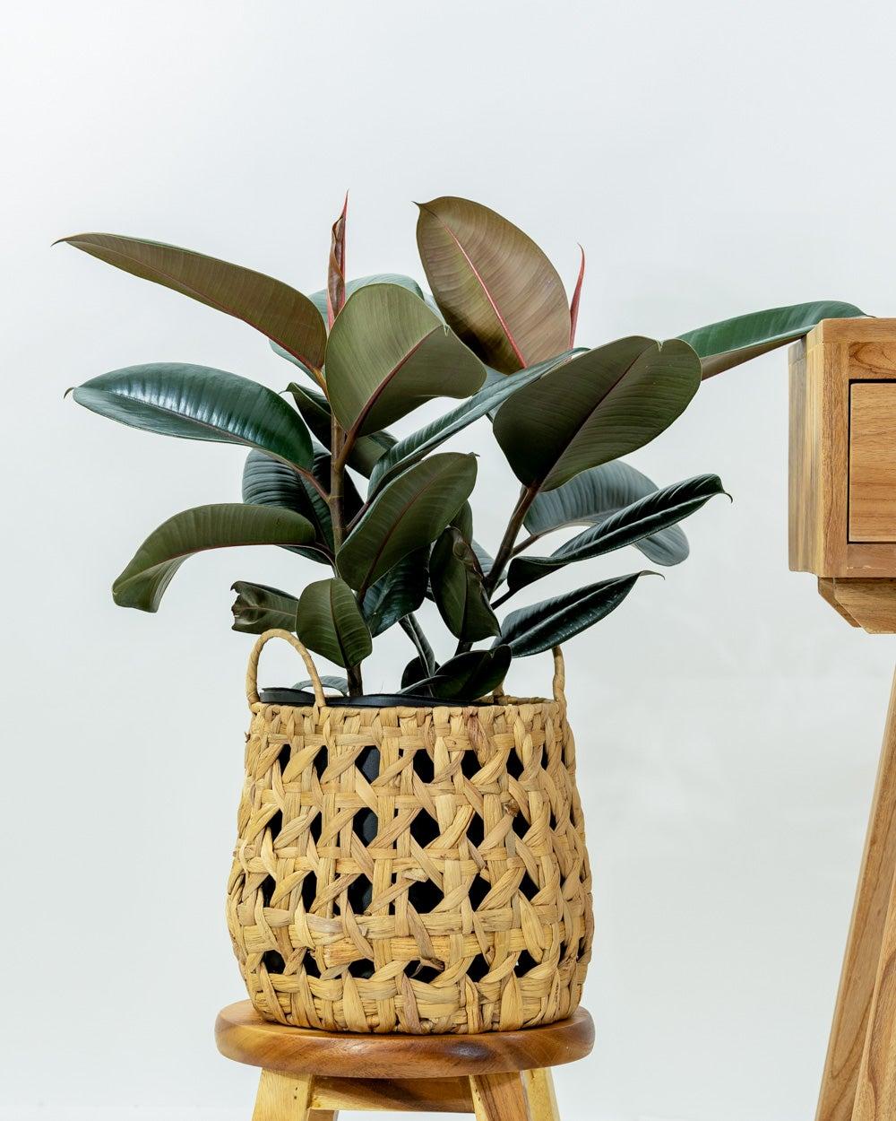rubber-plant-burgundy