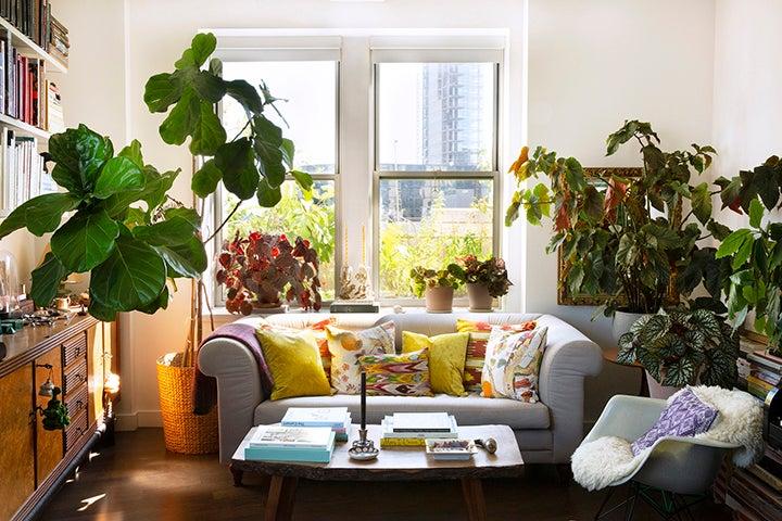 Fiddle leaf fig tree by a window and sofa