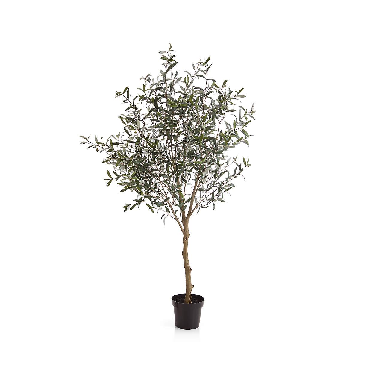 OliveTree7FtS18